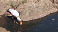 Yellow-billed stork (Mycteria ibis) skims the water for food Stock Footage