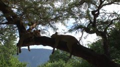 Lionesses drape over a tree branch backlit Stock Footage