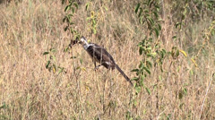 Red-billed Hornbill in tall grass  in the Serengeti flies away Stock Footage