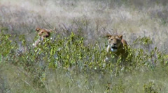 Three hot lionesses relax in tall grass Stock Footage