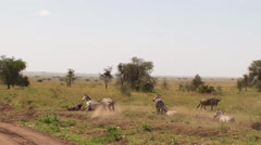 Zebras challenge each other in the Serengeti Stock Footage