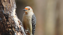 Red-bellied Woodpecker Female Stock Footage
