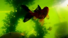 Colorful fish in an aquarium with a green background Stock Footage