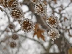 rime coverered plane tree seed - stock photo