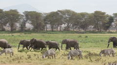 African elephants and plains zebras, safari, Amboseli National Park, Kenya - stock footage