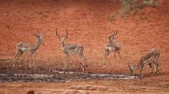 Impala antelopes at waterhole Stock Footage