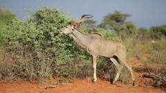 Kudu bull feeding, Mokala National Park, South Africa Stock Footage