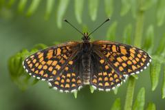 Heath fritillary butterfly, melitaea athalia Stock Photos