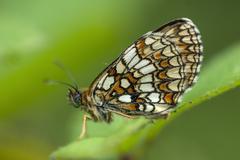 heath fritillary butterfly, melitaea athalia - stock photo