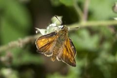 large skipper butterfly - stock photo