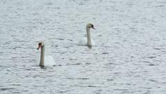 Mute Swan feeding sea grass in shallow water Stock Footage