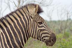 Burchell's Zebra (Equus burchelli) (0908) Stock Photos