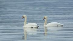 Beautiful scene of Mute Swans swim in calm water Stock Footage