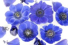 Blue anemones in bed of milk Stock Photos