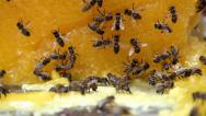 Stock Video Footage of Bees and honey