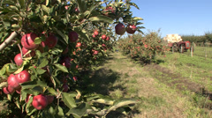 Apple orchard, tractor with crates - stock footage
