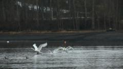 Mute Swan chasing another swan Stock Footage