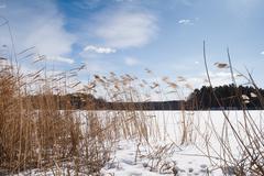 Phragmites dried reeds in snow on frozen lake - stock photo