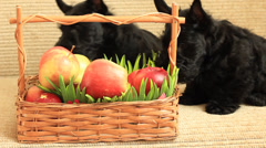 Scottish terrier with apples Stock Footage