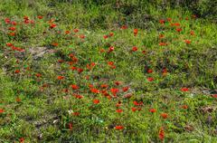 blooming anemones field - stock photo