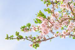 Branch of pink spring blossom cherry tree Stock Photos