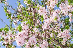 Bright clear stock photo spring bloom of apricot tree Stock Photos