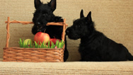 Stock Video Footage of scottish terrier with apples