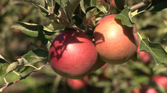 Ripe apples on a tree branch Stock Footage