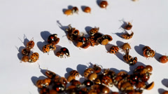 ladybugs on white - stock footage