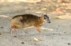 lesser mouse deer - stock photo