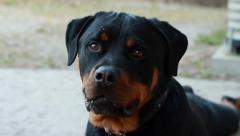 Closeup of Purebred Rottweiler dog's face Stock Footage