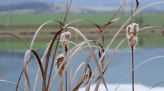 Reeds on the bank of a pond Stock Footage