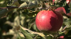 Red apple on the branch - stock footage