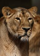 Standing lion Stock Photos
