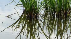 Sedge - stock footage