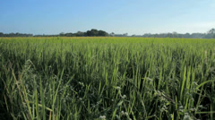 Ricefield In Summer - stock footage