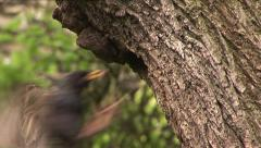Starlings feed their young Stock Footage
