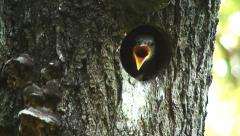 Starlings chicks peeping out of the hollow tree Stock Footage