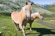 Stock Photo of two haflinger horses