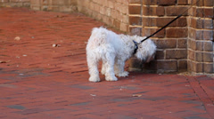 Small Dog on Leash in City Stock Footage