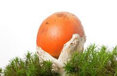 Amanita Caesarea mushroom - stock photo