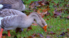 Goose Eating Stock Footage