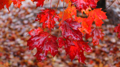 Wet Red Autumn Leaves Stock Footage