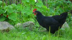 Black hen walking in the garden in summer near stones Stock Footage