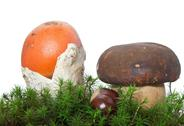 Stock Photo of Amanita and Boletus mushrooms with chestnut