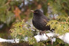 Turdus merula blackbird sitting on Thuja twig Stock Photos