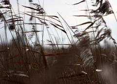 Closeup Reed - stock photo