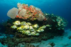 Caribbean porkfish Stock Photos