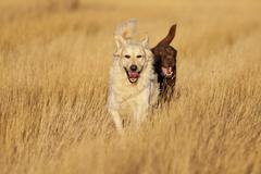dogs running at golden hour - stock photo