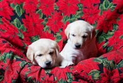 Stock Photo of lab puppies